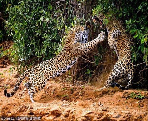 动物世界的王者之战:鳄鱼抢食狮子美餐